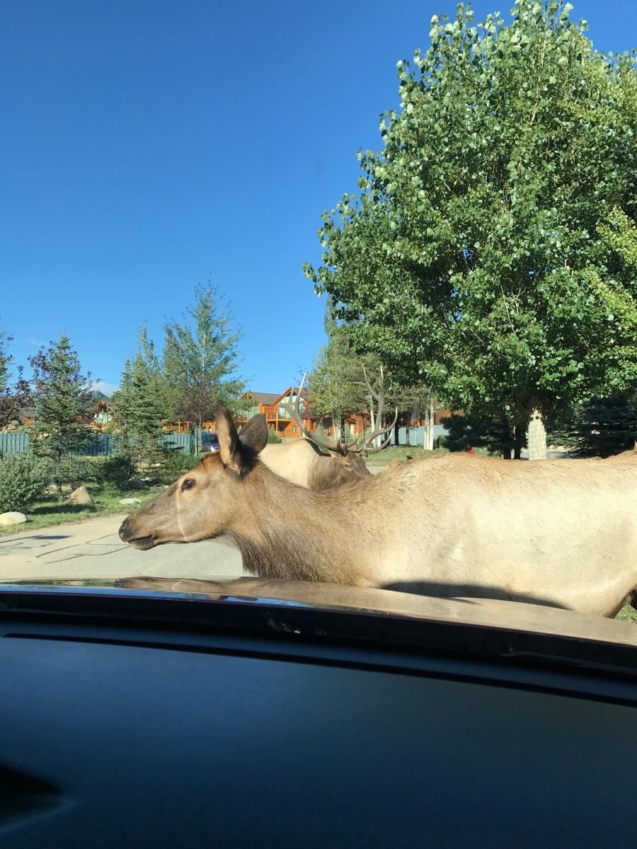 Elk in Estes Park CO